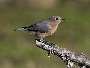 Eastern bluebird - Curt Hart