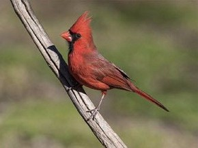 Northern Cardinal - Curt Hart