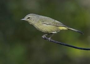 Orange-crowned Warbler - Curt Hart