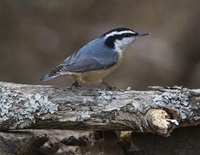 Red-breasted Nuthatch - Curt Hart