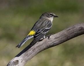 Yellow-rumped Warbler - Curt Hart