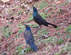 Courting Grackles - Marty Thurman