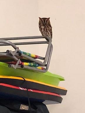 Screech Owl - Patsy Rice