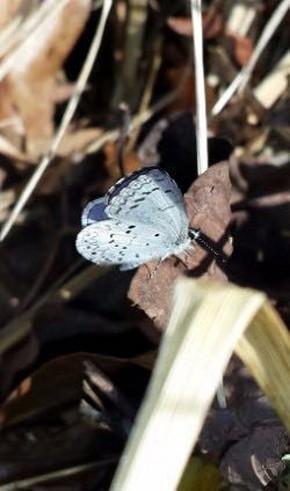 Spring Azure Butterfly - Randy Ratliff