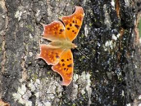 Question Mark Butterfly - Joe Brewington