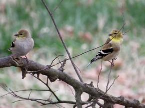 American Goldfinch - Joe Brewington