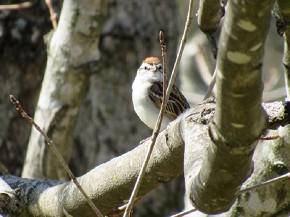 Chipping Sparrow - Joe Brewington