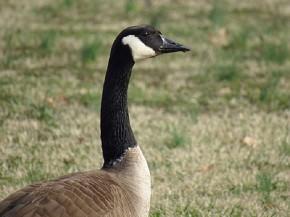Canada Goose - Joe Brewington