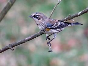 Yellow-rumped warbler - Joe Brewington