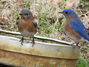 Eastern Bluebird pair - Joe Brewington
