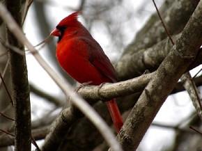Northern Cardinal - Joe Brewington