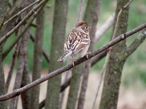 Field Sparrow - Joe Brewington