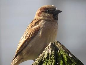 House Sparrow - Joe Brewington