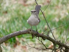 Northern Mockingbird - Joe Brewington