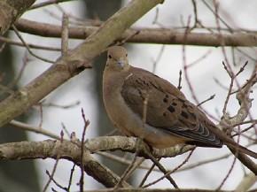 Mournig Dove - Joe Brewington