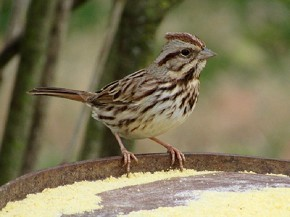 Song Sparrow - Joe Brewington