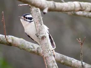 Downy Woodpecker - Joe Brewington