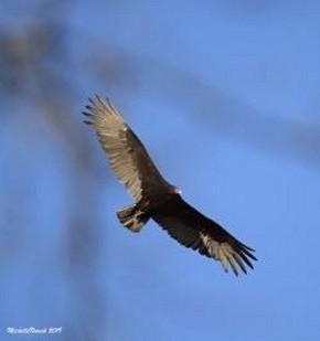 Turkey Vulture - Michelle Nowak