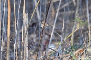 White-throated Sparrow - Michelle Nowak