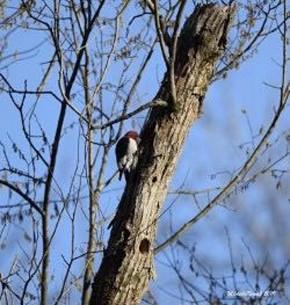 Red-headed Woodpecker - Michelle Nowak