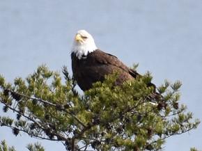 Bald Eagle - Kirk Rumsey