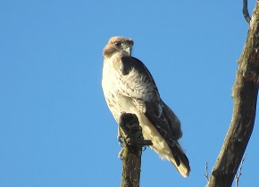 Red-tailed Hawk - Marty Thurman