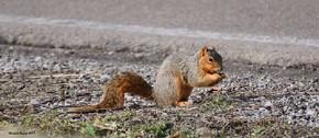 Fox Squirrel - Michelle Nowak