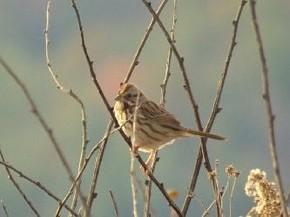 Savannah Sparrow - Marty Thurman