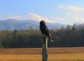 American Crow - Marty Thurman