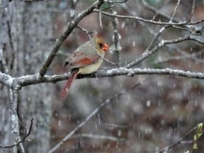 Northern Cardinal - Holly Nelson