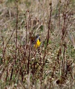 Eastern Meadowlark - Randy Ratliff
