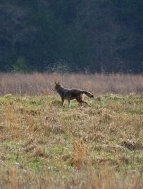 coyote - Randy Ratliff