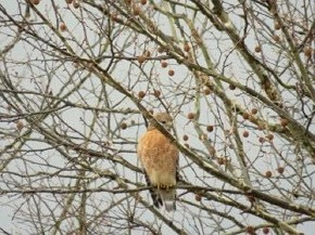 Red-shouldered hawk - Marty Thurman