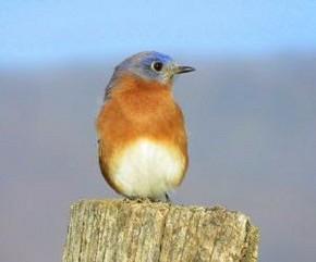Eastern Bluebird - Marty Thurman