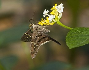 Long-tailed skipper - Curt Hart
