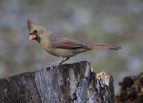 female, Northern Cardinal - Curt Hart