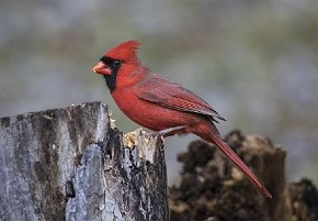 male, Northern Cardinal - Curt Hart