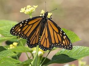 Monarch - Curt Hart