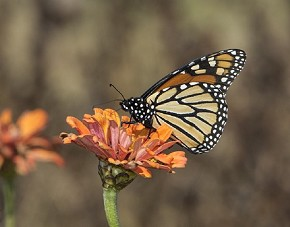 male Monarch Butterfly - Curt Hart