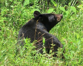 Black bear - Marty Thurman