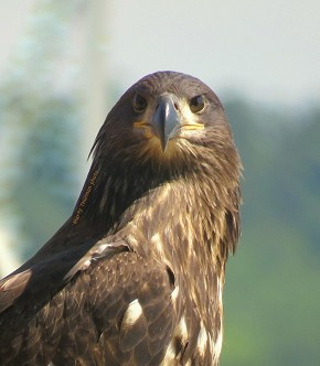 Juvenile Bald Eagle - Marty Thurman