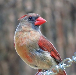 Northern Cardinal - Marty Thurman