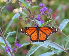 Monarch - Marty Thurman