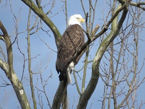 Adult Bald Eagle - Marty Thurman