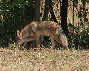 coyote - Marty Thurman
