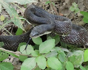 Rat snake - Marty Thurman