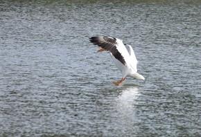 White Pelican - Terri Pinto