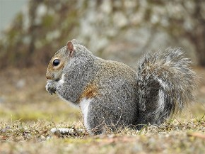 Gray Squirrel - Holly Nelson