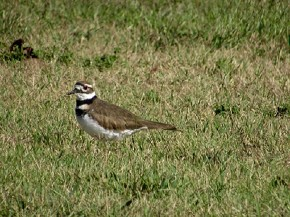 Killdeer - Joe Brewington