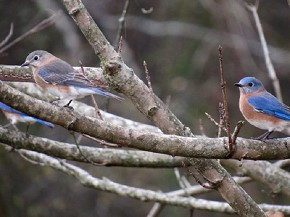 Bluebirds - Joe Brewington